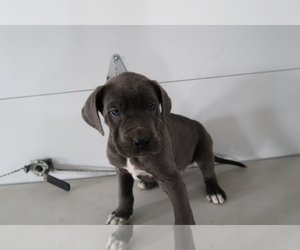 Great Dane Puppy for sale in ANN ARBOR, MI, USA