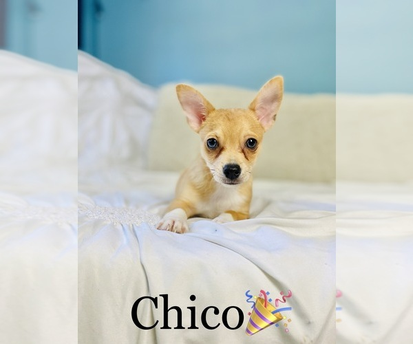 Medium Photo #5 Chihuahua Puppy For Sale in COOKEVILLE, TN, USA