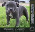 American Bully Puppy For Sale in CHANDLER, AZ, USA