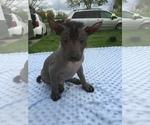 Small #8 Xoloitzcuintli (Mexican Hairless)