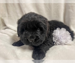 Newfoundland Puppy for Sale in CANDLER, North Carolina USA