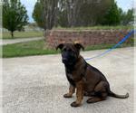 Puppy 4 German Shepherd Dog