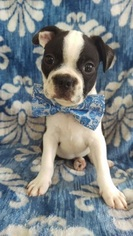 Boston Terrier Puppy for sale in EDEN, PA, USA