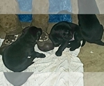 Small #28 Labrador Retriever