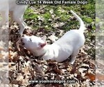 Small Photo #215 Dogo Argentino Puppy For Sale in PINEVILLE, MO, USA