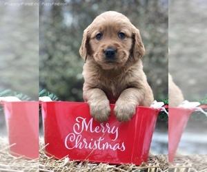 Golden Retriever Puppy for sale in BECKER, MN, USA