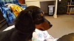 Dachshund Puppy For Sale in CHESTER, AR, USA