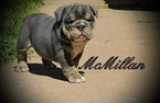 Bulldog Puppy For Sale in DUMAS, TX, USA