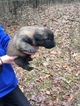 Small #10 Belgian Malinois