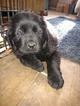 Newfoundland Puppy For Sale in SCOTTVILLE, MI, USA