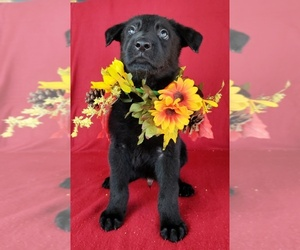 German Shepherd Dog Puppy for sale in HOLDEN, MO, USA