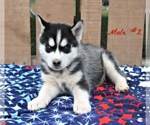 Siberian Husky Puppy for Sale in BEVERLY, Ohio USA
