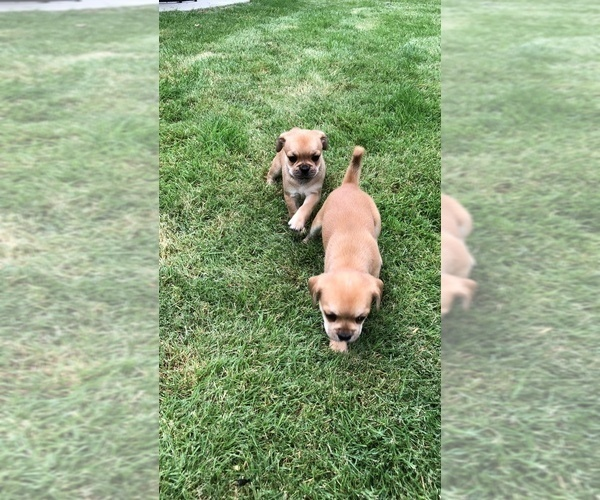 Medium Photo #10 Cavalier King Charles Spaniel-French Bulldog Mix Puppy For Sale in LAWRENCEVILLE, GA, USA