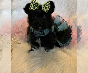 Malchi Puppy for sale in TALALA, OK, USA