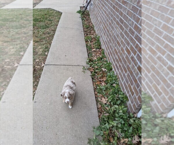 Medium Photo #4 Australian Shepherd Puppy For Sale in NIANGUA, MO, USA