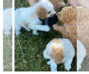 Cavapoo Puppy for sale in FORT WORTH, TX, USA