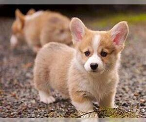 Pembroke Welsh Corgi Puppy for sale in HUDSON, MI, USA