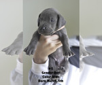 Small #6 Great Dane