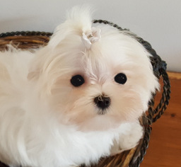 GORGEOUS TEACUP KOREAN MALTESE GIRL
