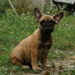 French Bulldog Puppy For Sale in CANAL STREET, NY, USA