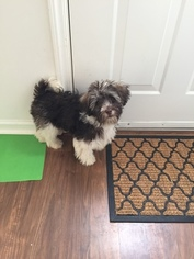 Havanese Puppy For Sale near 27540, Holly Springs, NC, USA