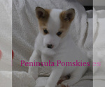Small Photo #2 Pomsky Puppy For Sale in SEQUIM, WA, USA