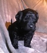 Doodle-Poodle (Standard) Mix Puppy For Sale in LAKE ODESSA, MI, USA