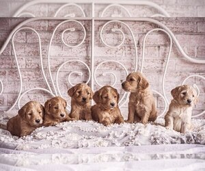 Goldendoodle Puppy for Sale in WOODRUFF, South Carolina USA