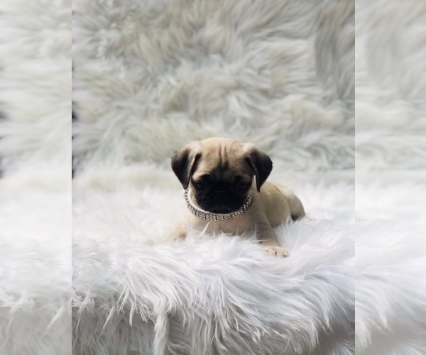 Medium Photo #6 Pug Puppy For Sale in CANTON, CT, USA