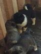 Akita Puppy For Sale in HUBERT, NC