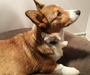 Father of the Pembroke Welsh Corgi puppies born on 04/08/2019