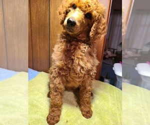 Poodle (Standard) Puppy for sale in JOPLIN, MO, USA