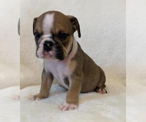 English Bulldog Dog for Adoption in CHARLESTON, South Carolina USA
