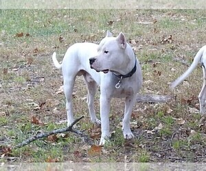 Father of the Dogo Argentino puppies born on 07/08/2020