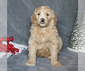 Goldendoodle-Poodle (Standard) Mix Puppy for sale in FREDERICKSBRG, PA, USA