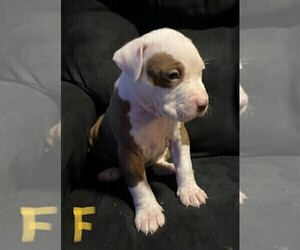 American Pit Bull Terrier Puppy for sale in ELMA, WA, USA