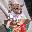 Chihuahua Puppy For Sale in MOUNT DORA, FL, USA