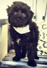 Poodle (Toy)-Yorkshire Terrier Mix Puppy for sale in FULLERTON, CA, USA