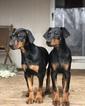Doberman Pinscher Puppy For Sale in COLLEGE HEIGHTS DURANGO, CO, USA