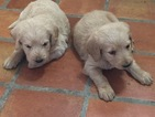 Labradoodle Puppy For Sale in SCOTTSDALE, AZ,