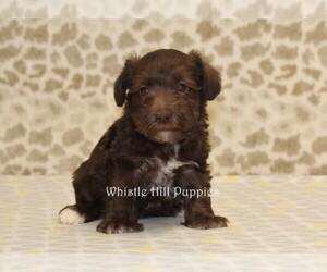 Schnauzer (Miniature) Dog for Adoption in DENVER, Pennsylvania USA