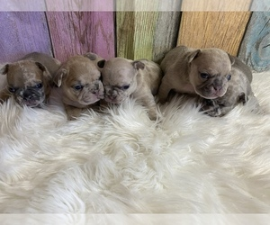 French Bulldog Puppy for Sale in PUYALLUP, Washington USA