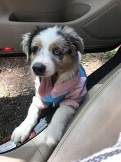 Australian Shepherd Puppy For Sale near 30350, Atlanta, GA, USA