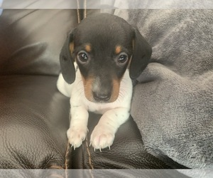 Dachshund Puppy for Sale in GRANBY, Connecticut USA