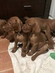 Vizsla Puppy For Sale in DELRAY BEACH, Florida,