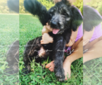 Goldendoodle Puppy For Sale in FORT MILL, SC, USA