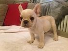 French Bulldog Puppy For Sale in ARLINGTON, VA, USA