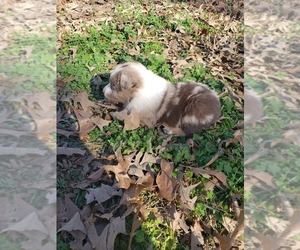 Australian Shepherd Puppy for sale in TYLER, TX, USA