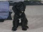 Puppy 1 Jack Russell Terrier-Poodle (Standard) Mix