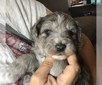 Puppy 4 Aussiedoodle-Miniature Australian Shepherd Mix